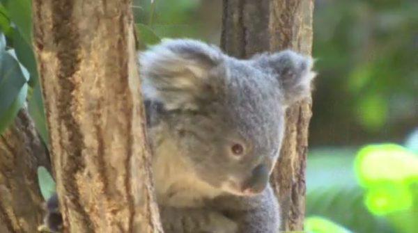 飼育員は見たコアラのちょっと切ない生態とは 中京テレビnews